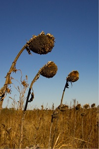 sunflower seed heads, fall,  autumn, autumnal colours, fall colors