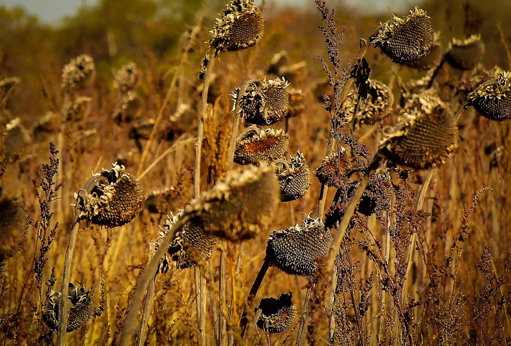 Sunflower Seed Heads in Fall